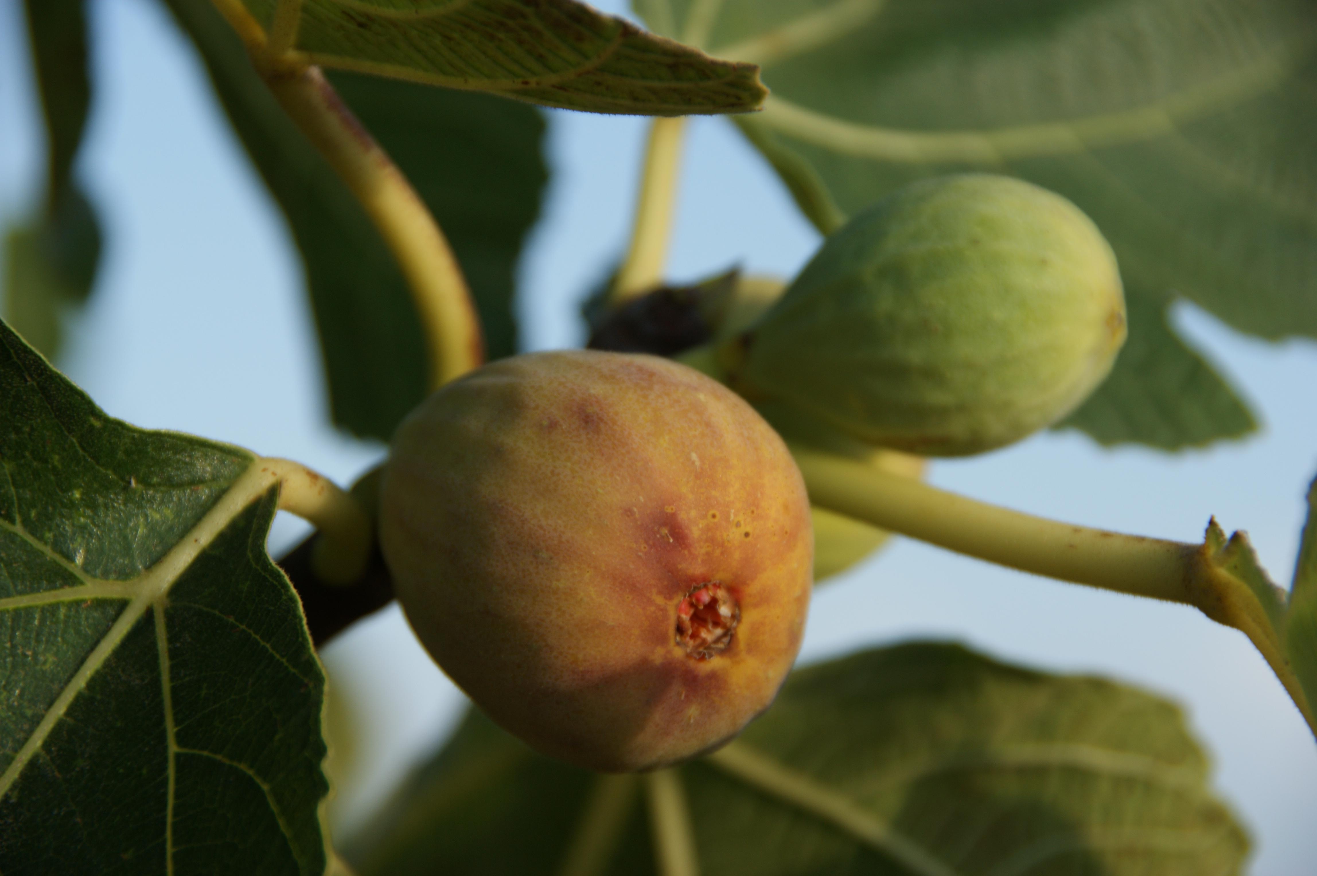 Feigen / figs