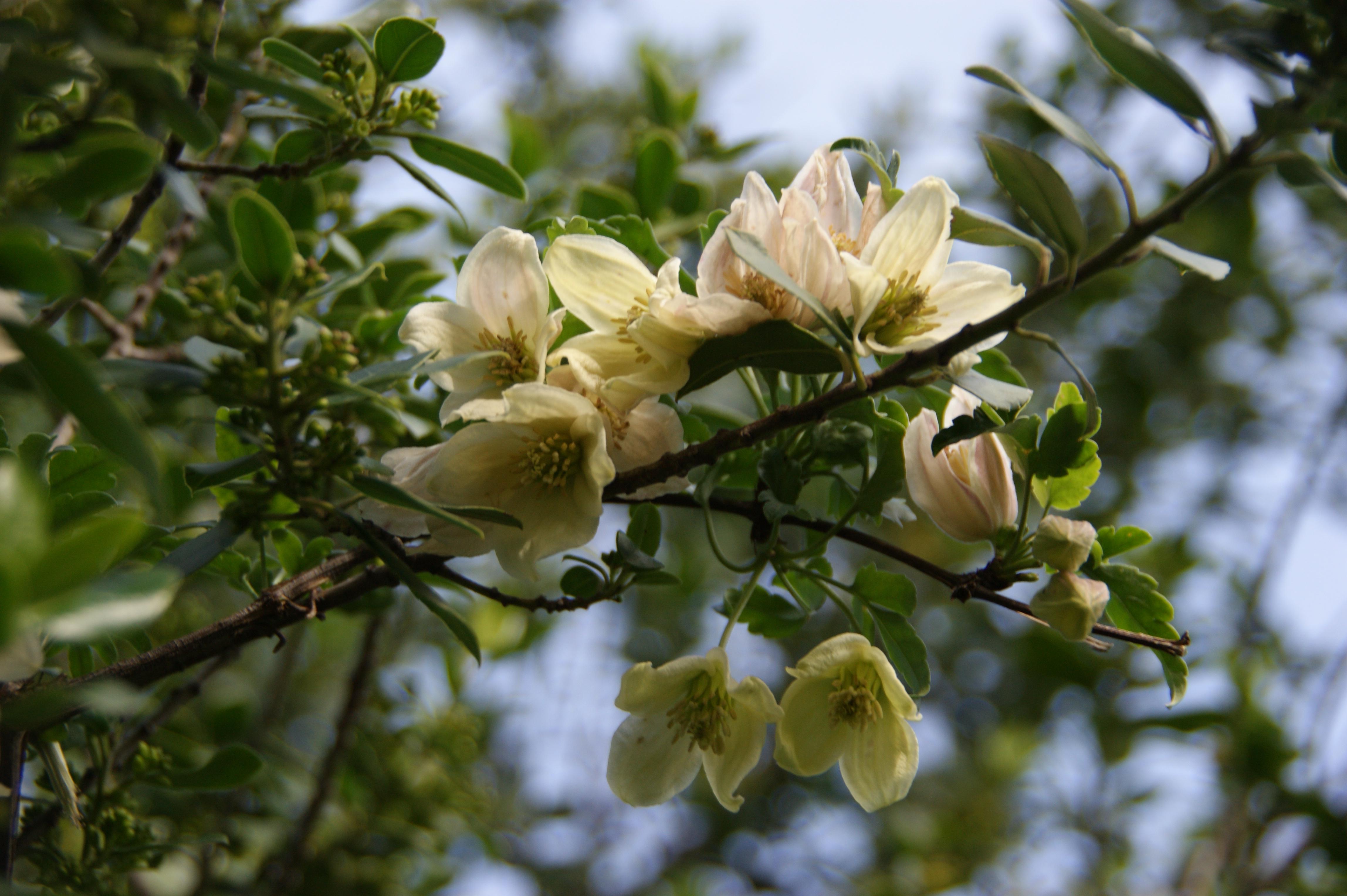 Clematisblüte / Clematis flower