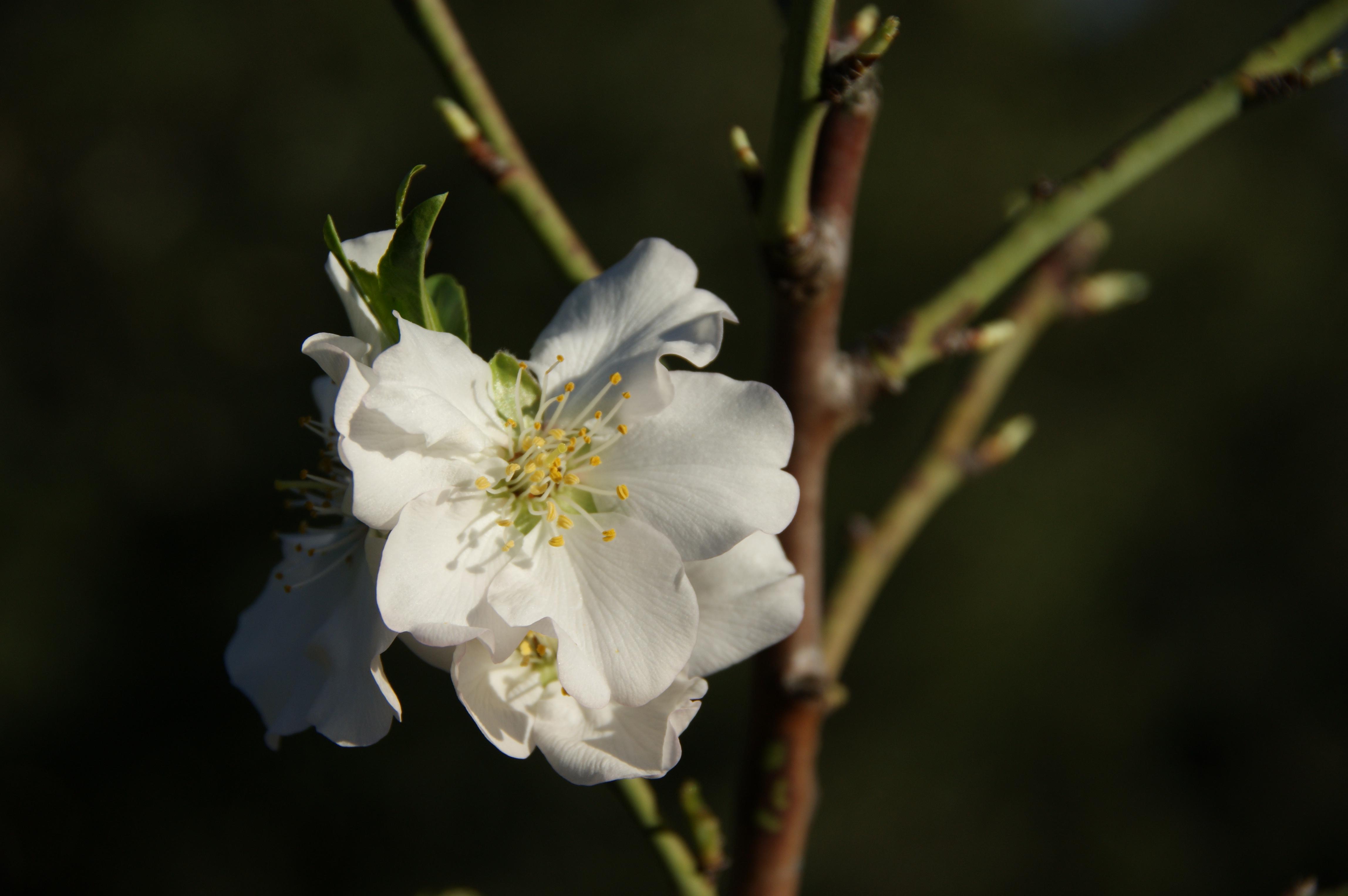 Mandelblüte / almond blossom